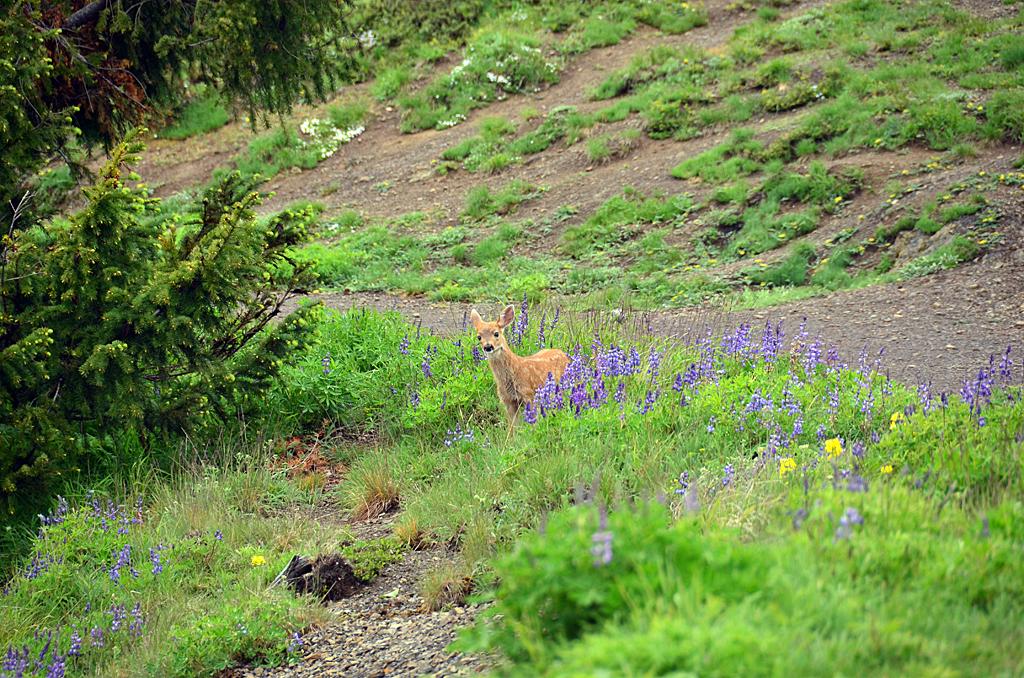 США: Олимпийские сурки (и чернохвостые олени тоже).